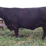 Pedersen Wistful 26W -Sold in 2013 Northern Select sale to Matlock Stock Farm.
