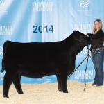 Pedersen Andee 292B  Reserve Champion Black Angus Heifer in Legends of the Fall, Farmfair,    2nd in class;Farmfair International,   2nd in class; Stockade Roundup