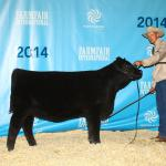 Pedersen Andee 292B  Headliner Show & Sale.  Sold to HR Hahn Cattle Co. Placed 1st in Black Angus Division and 3rd overall.