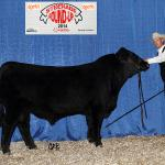 Bar-E-L Muchmore 155A, watch for his calves in our 2016 sale!