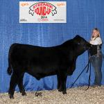 Pedersen Bustle 280B - 1st in class Farmfair International, watch for him in the Built Right Bull Sale, March 10, 2015