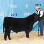 Pedersen Confidence 39C Higher seller in our 2016 Bull Sale to Grant Lodge Farms & Diamond B Livestock